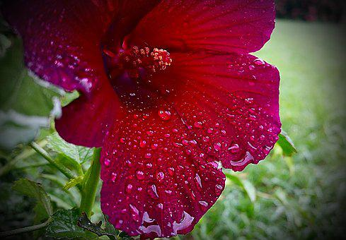 Flower, Wet, Water Drops, Red, Bloom, Color