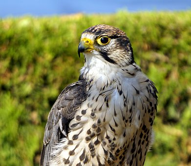 Bird Of Prey, Animal, Falcon, Fauna, Look, Head