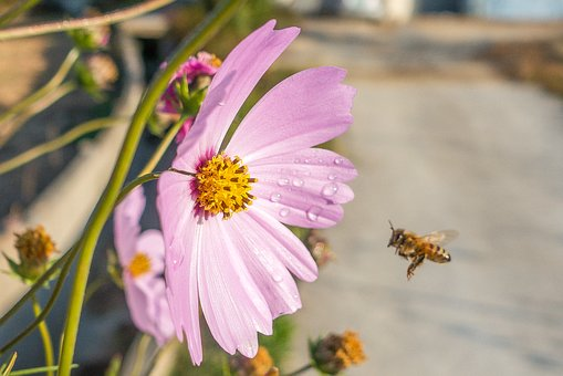 Bee, Flora, Flower, Flying Bee, Garden Cosmos