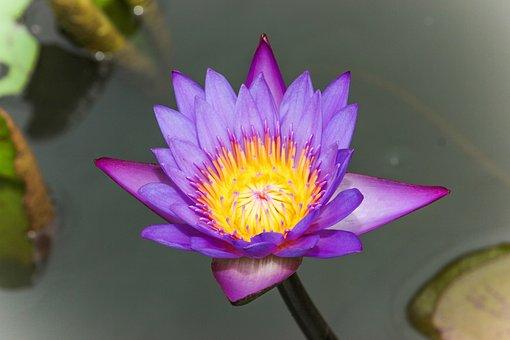 Flower, Lotus, Lotus Flower, Plant, Nature, Blossom