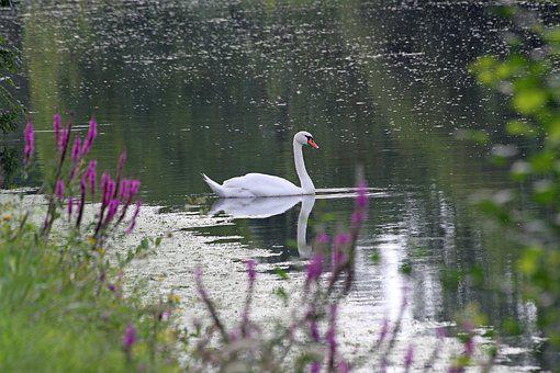 Swan, Lake, White, Majestic, White Swan