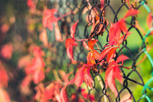 Creeper, Foliage, Red, Wild Wine, The Grid, Fencing