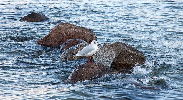 Seagull, Coast, Sea, Stones, Seevogel, Baltic Sea
