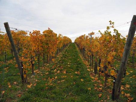 Vineyards, Vines, Grapes, Winegrowing, Vine, Slope