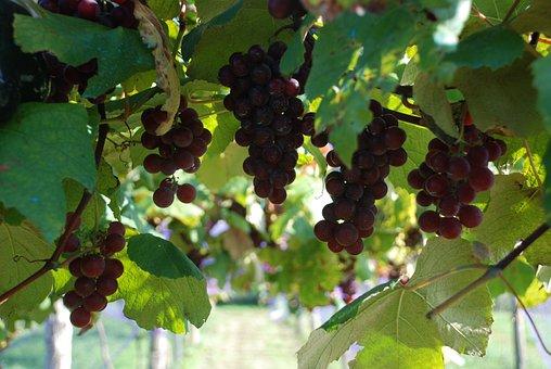 Grapes, Grape, Vintage, Parra, Vine, Collect, Vineyard
