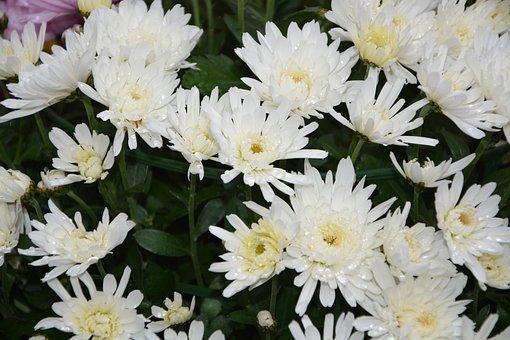 Flowers, White Flowers, Nature, Petals, Garden, Massif