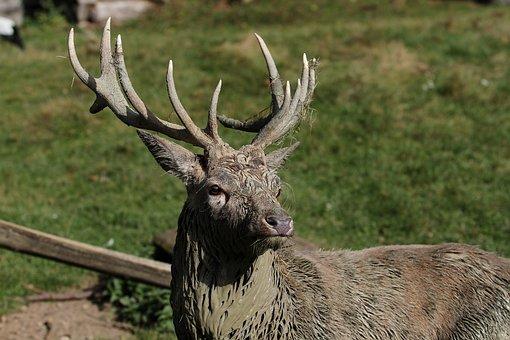 Hirsch, Antler, Wild, Mammal, Nature, Red Deer