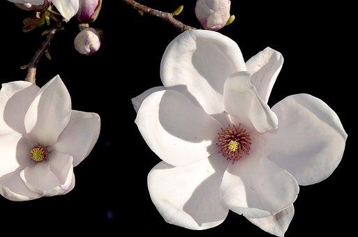 Magnolia, Magnolia Blossom, Rose Flower, Bud