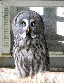 Owl, Animal, Feathers, Bird, Beak, Eyes, Bird Of Prey