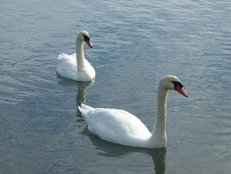Swans, Lake, Birds, Pond, Water, White Swan