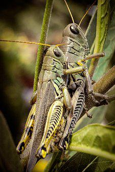 Grasshopper, Nature, Macro, Insect, Animal, Green, Bug