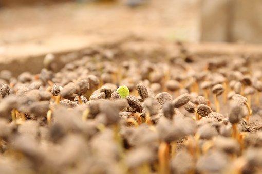 Coffee Seed, Coffee, Coffee Bean, Seed