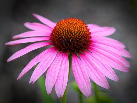 Echinacea, Flower, Plant, Nature, Cone-flower, Purple
