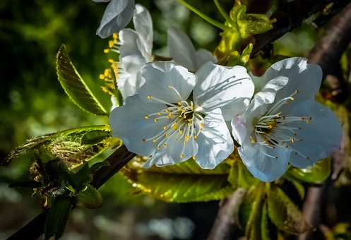 Almond Tree, Blossom, White, Spring, Flower