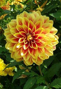 Dahlia, Flower, Dahlia Flower, Blossom, Bloom