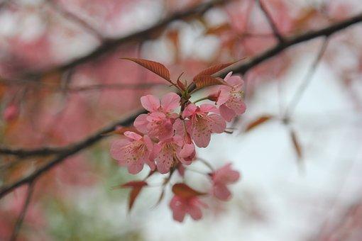 Wild Himalayan Cherry, Pink Flower, Flower, Pink