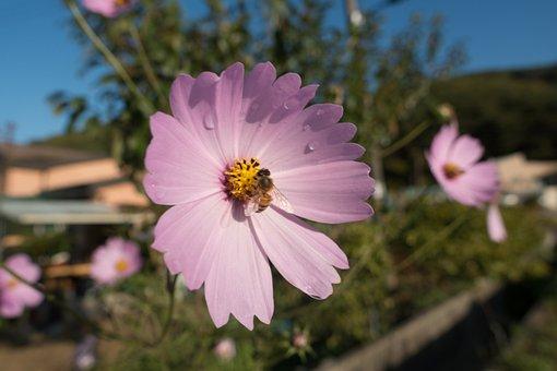 Bee, Cosmos, Flora, Flower, Flowering Plant