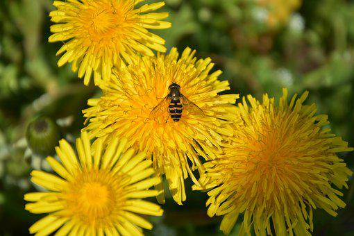 Flowers, Bee, Insect, Nature, Macro, Summer, Yellow
