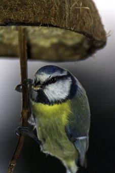 Bird, Tit, Food, Winter, Autumn, Blue Tit, Nature