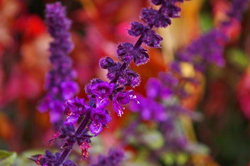 Flowering Basil, Basil, Herbs, Spice, Plant, Green