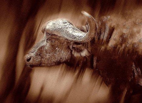Cape Buffalo, Horns, Safari, Bull, Trophy, Portrait