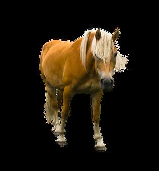 Animal, Horse, Haflinger, Isolated, Mane, Ride