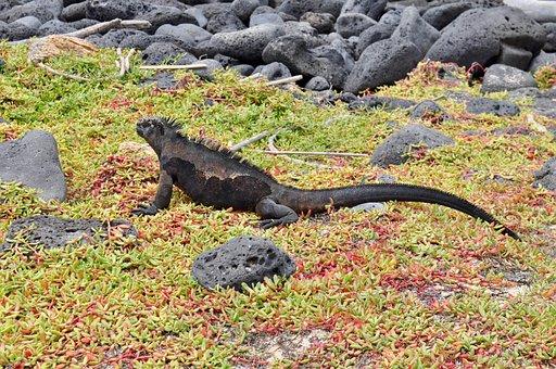 Iguana, Wildlife, Lizard, Reptile, Exotic, Endemic
