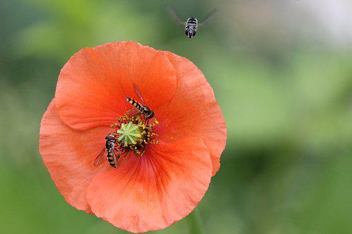 Fly, Flies, Bee, Bees, Insect, Insects, Poppy, Flower