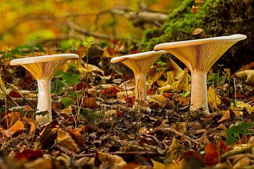 Mushroom, Mushroom Group, Monk's Cap, Lamellar