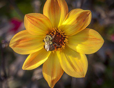 Flower, Bee, Yellow, Red, Insect, Nature, Honey, Spring