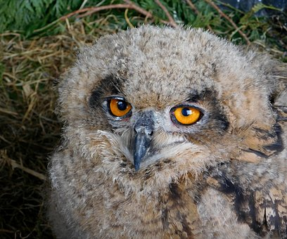 Bird, Owl, Ninny, Owls, Beak, Animals, Eyes, Nature