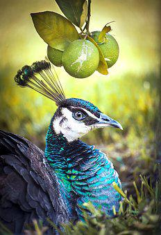Peacock, Bird, Animal, Nature, Feather, Color, Colorful