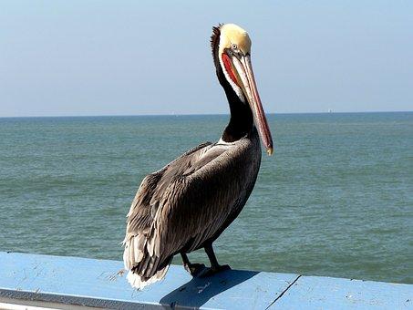 Pelikan, Bird, Pacific, Nature, Coast, Seevogel
