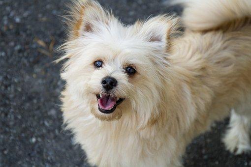 Pomapoo, Pomeranian, Poodle, Dog, Pet, Furry, Furball