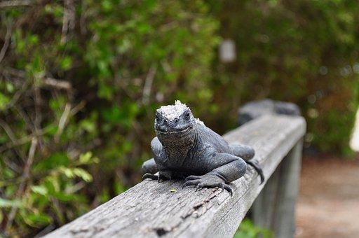 Iguana, Lizard, Reptile, Wildlife, Tropical, Dragon
