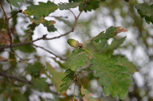 Oak, Tree, Acorn