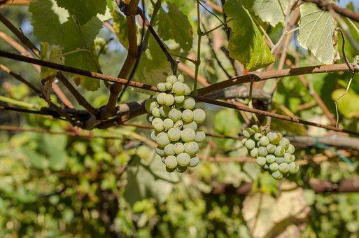 Vine, Green Grapes, Harvest, Vineyard, Cultivation