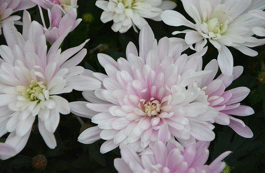 Flowers, White Flowers, Roses, Nature, Petals, Garden