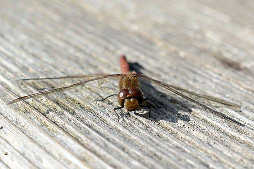 Dragonfly, Wing, Insect, Nature, Flight Insect, Animal