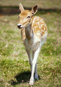 Deer, Animal, Wild, Wildlife, Nature, Zoo, Mammal, Cute