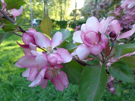 Apple Flowers, Apple Tree, Flowers, Catherine Park