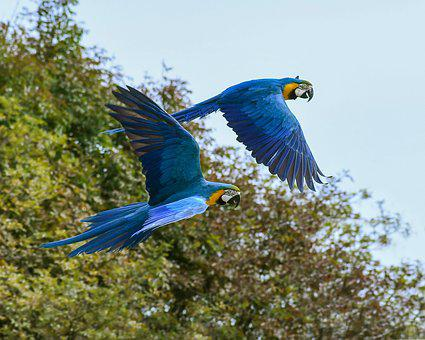 Parrot, Fly, Blue Macaw, Two, Bird