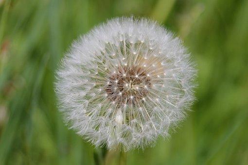 Dandelion, Blossom, Bloom, Nature, Spring, Plant