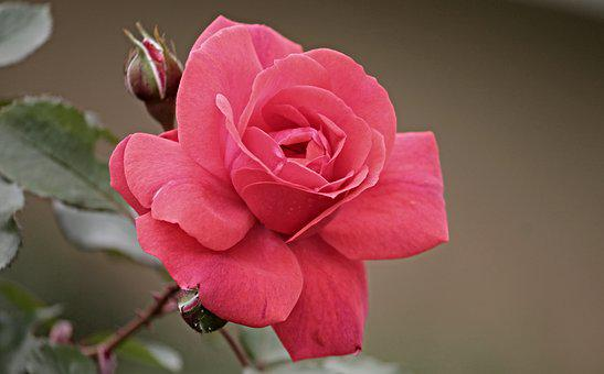 Rose, Rose Bloom, Blossom, Bloom, Bud, Romantic