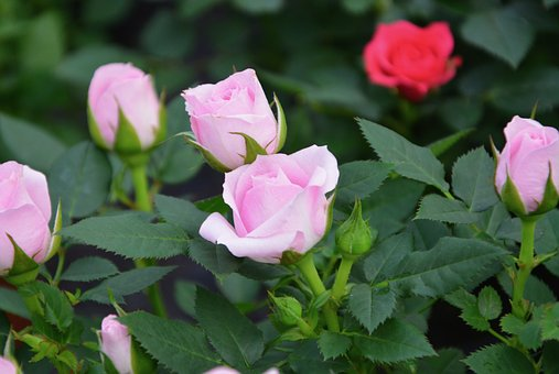 Pink, Garden, Flower, Color Pink, Buttons Roses, Bud