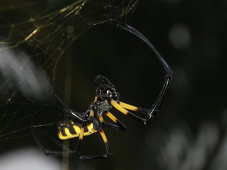 Insect, Spider, Spider African, Spider Yellow And Black
