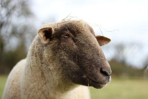 Sheep, Pasture, Animal, Livestock, Wool