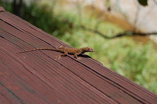 Lizard, Puerto Rico, Brown, Animal, Reptile
