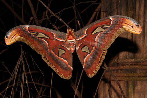 Moth, Giant Moth, Atlas, Insect, Nature, Natural, Wild