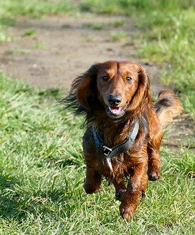 Dachshund, Dachshund Dog, Movement, Race, Play, Nature
